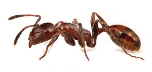 web-ant
